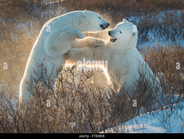 Polar bears (Ursus maritimus) backlit sparring - Stock Image