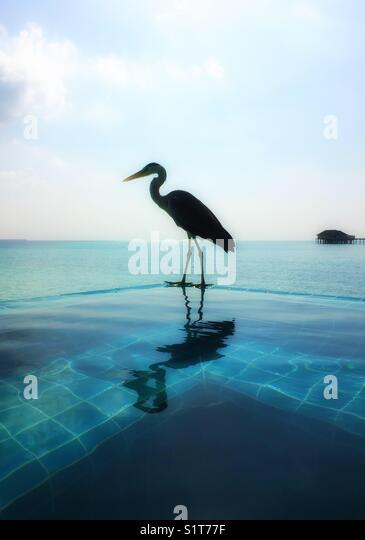 A heron standing in the side of an infinity jacuzzi, Maldives - Stock Image