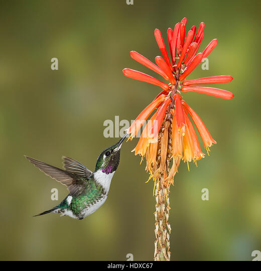 White-bellied Woodstar Hummingbird (Chaetocercus mulsant) feeding on Red Hot Poker (Kniphofia - Stock Image
