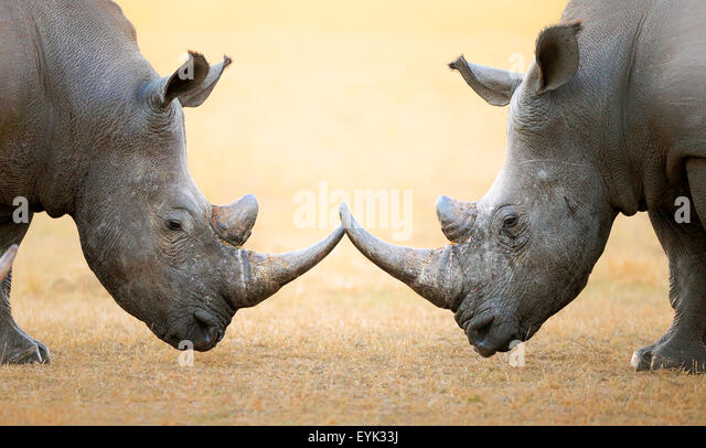 White Rhinoceros (Ceratotherium Simum) head to head - Kruger National Park (South Africa) - Stock Image