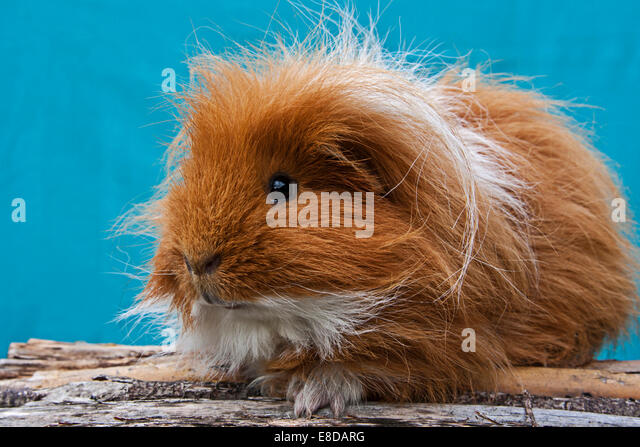 Two-tone Swiss Teddy Guinea Pig - Stock Image
