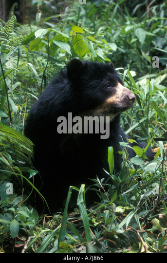 SPECTACLED BEAR Tremarctos ornatus La Planada Nature Reserve Colombia South America Captive Female - Stock Image