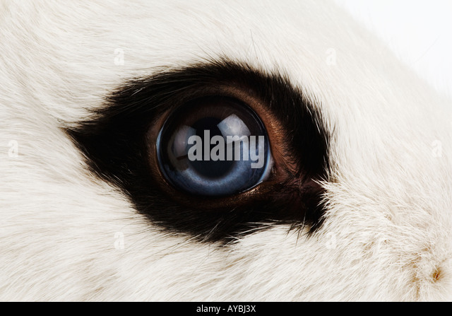 English rabbit Close up of eye Variety of domestic rabbit or bunny Studio shot against white background - Stock Image