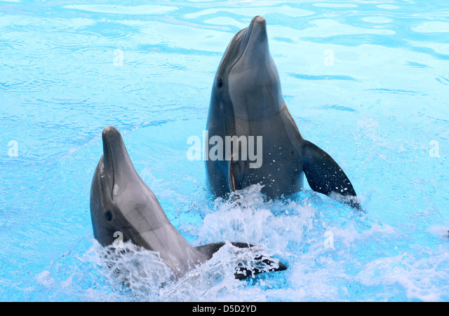 Puerto de la Cruz, Spain, dolphin show at Loro Park, their Kunststuecke - Stock Image