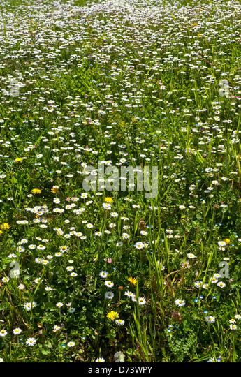 Garden daisies - France. - Stock Image