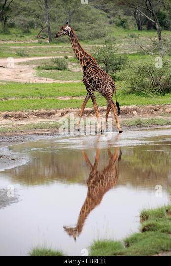 Masai giraffe (Giraffa camelopardalis tippelskirchi), mirroring on a water place, Tanzania, Serengeti National Park - Stock Image