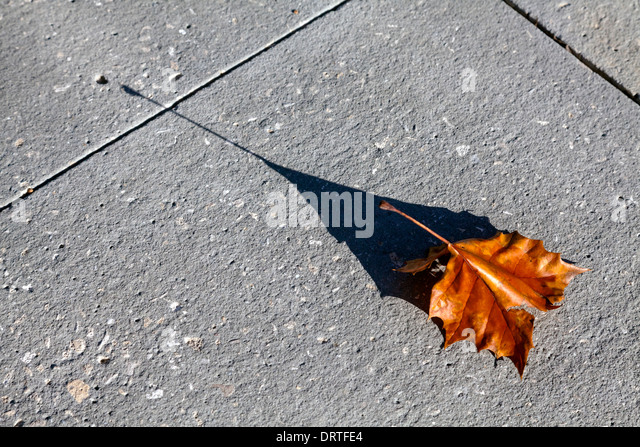 dry-red-sycamore-leaf-casts-long-shadow-