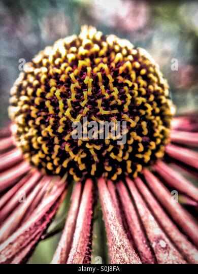 Close up of an echinacea - Stock Image