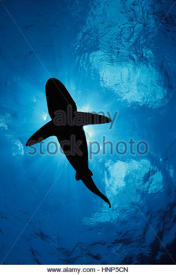 An oceanic whitetip shark, Carcharhinus longimanus, swims in the waters off Cat Island in the Bahamas. - Stock-Bilder