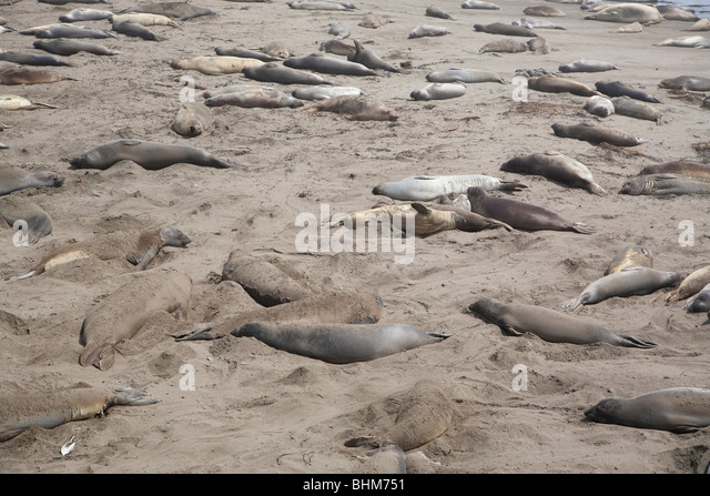 Elephant seals laying on a central California beach molting - Stock Image