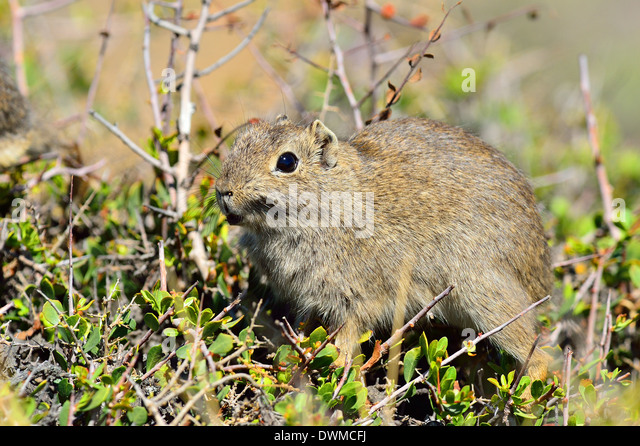 Common yellow-toothed cavy (Galea musteloides), Peninsula Valdes, Patagonia, Argentina, South America - Stock Image