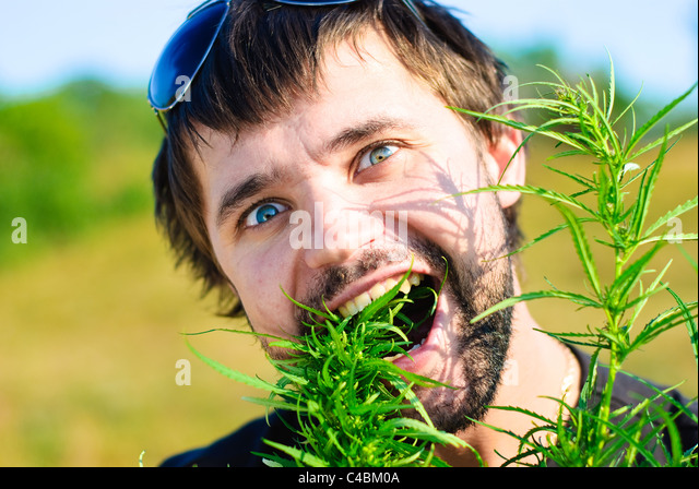 Young man eating leaves of hemp. Shoot in the field of marijuana. - Stock Image