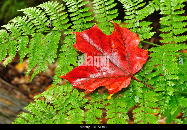 Red Maple leaf on a green fern - Stock Image