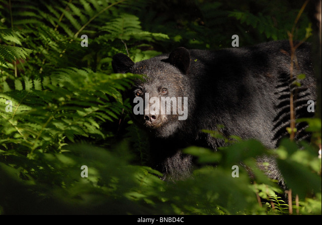 A black bear looks through the brush in the Vermont woods. - Stock Image
