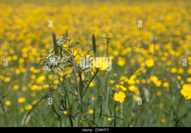 Flower Meadow Dominated by Buttercups (Ranunculus acris) - Stock Image