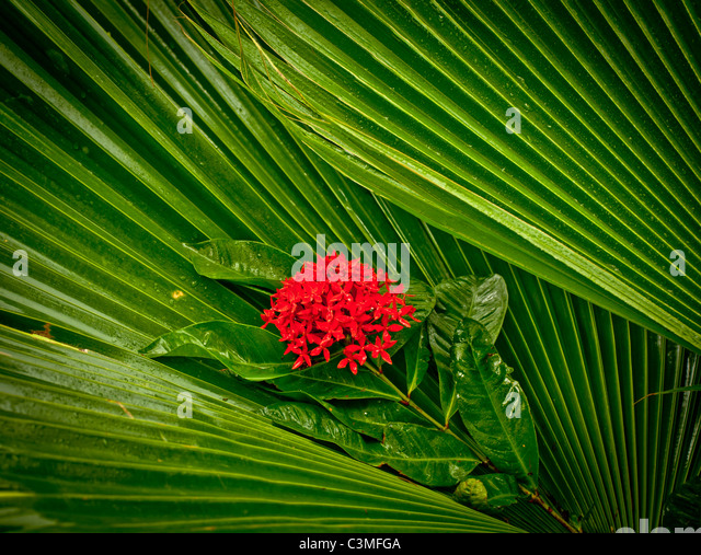 Tropical Ornamental Red Flower Plant named ( Kajdo ) surrounded by green palms. Fiji Islands - Stock Image