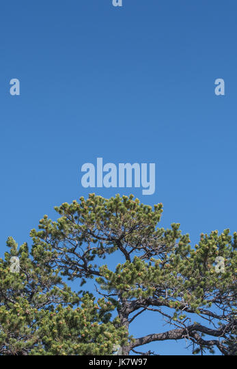 Pine Tree Over Blue Sky Vertical with copy space above - Stock Image