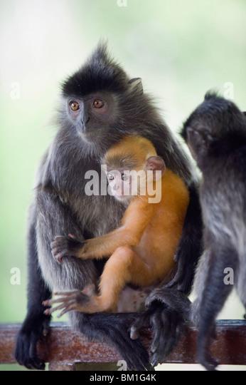 Silver Leaf Langur monkey, Labuk Bay Proboscis Monkey Sanctuary, Sabah, Borneo, Malaysia, Southeast Asia, Asia - Stock Image