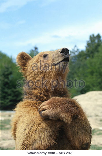 Grizzly bear standing upright portrait summer - Stock Image