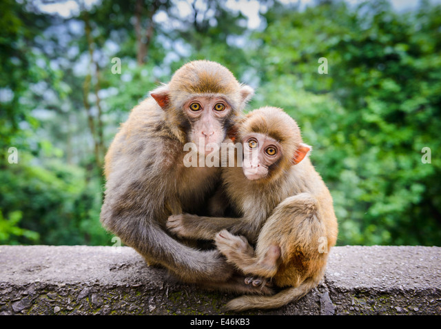 Macaques in Guiyang, China. - Stock Image
