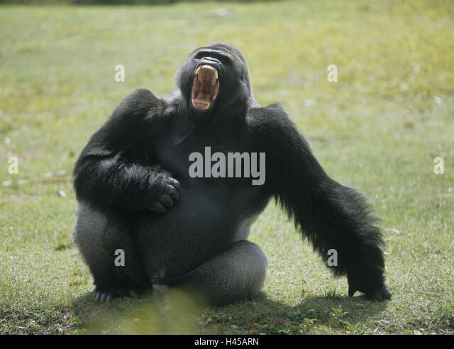 Gorilla Man Stock Photos Amp Gorilla Man Stock Images Alamy