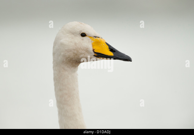 A Whooper Swan photographed on the River Doon, Scotland. - Stock Image