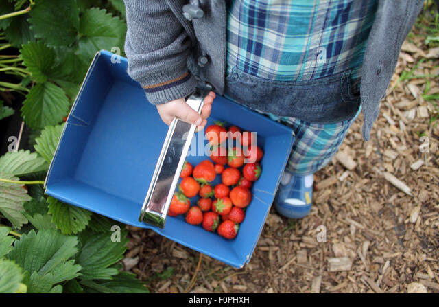 Toddler picking strawberries, Hendrewennol fruit farm, Bonvilston, Cowbridge, Vale of Glamorgan, Wales. UK - Stock Image