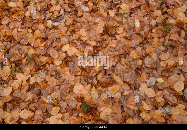 Beech Leaves - Stock Image