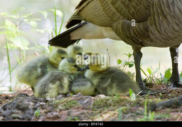 Canada Goose Babies - Stock Image