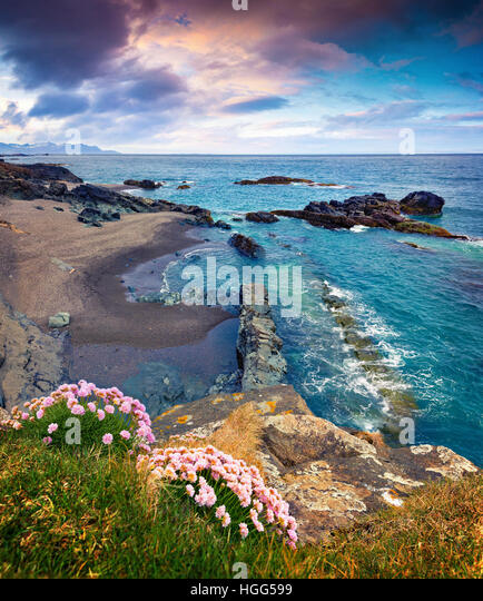 Typical Icelandic seascape with blooming pink flowers. Colorful summer morning on the west coast of Iceland, Europe. - Stock Image