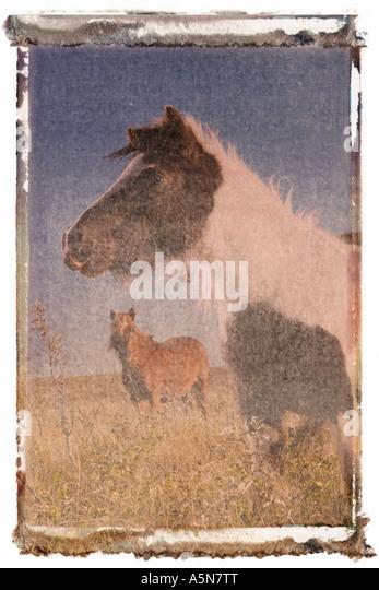Polaroid transfer of minature horse - Stock Image