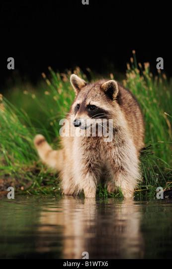 Northern Raccoon Procyon lotor adult at night looking for food in wetland lake Refugio Coastel Bend Texas USA - Stock Image