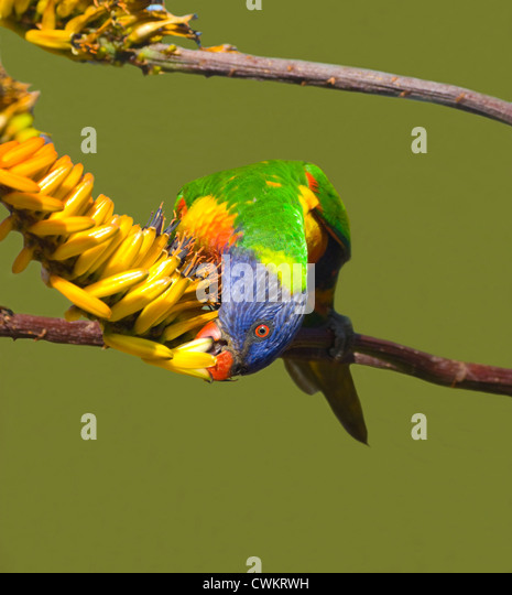 Rainbow Lorikeet (Trichoglossus haematodus) feeding, New South Wales, Australia - Stock Image