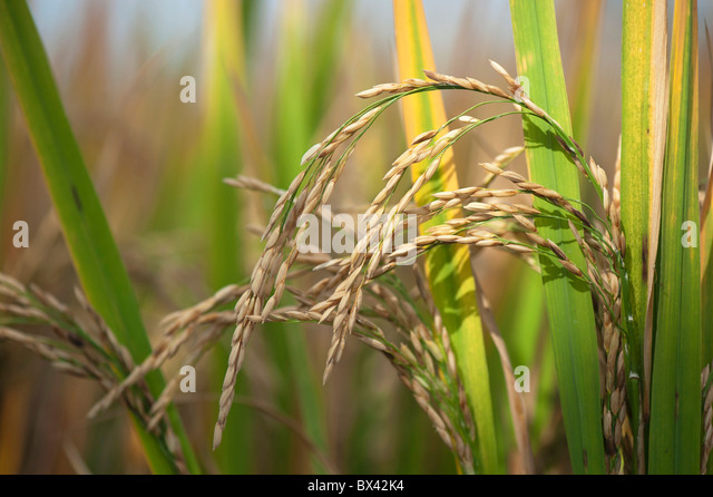 Oryza sativa. Ripe Rice grain / seed on the plant in a paddy field ready for harvesting in India - Stock Image