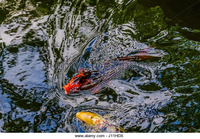 Koi fish pond lake water japan stock photos koi fish for Exotic koi fish