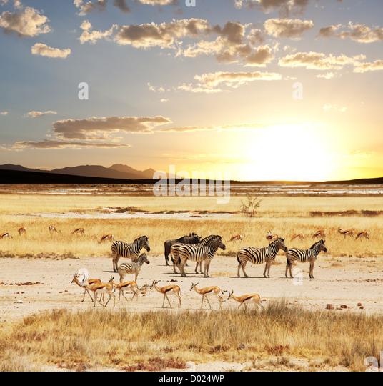 Safari - Stock Image