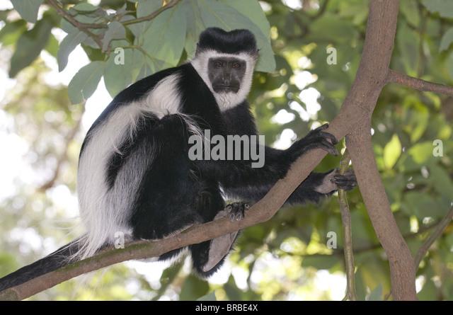 Black and white colobus monkey (Colobus satanas), Ethiopia - Stock Image