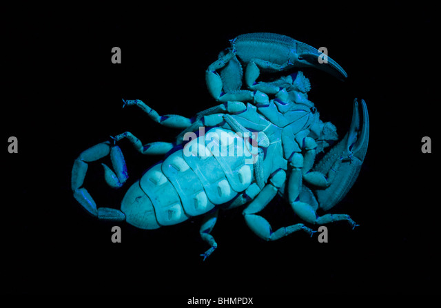 The undersides, including pectines, of a flat rock scorpion (Hadogenes troglodytes) viewed under UV light. - Stock Image