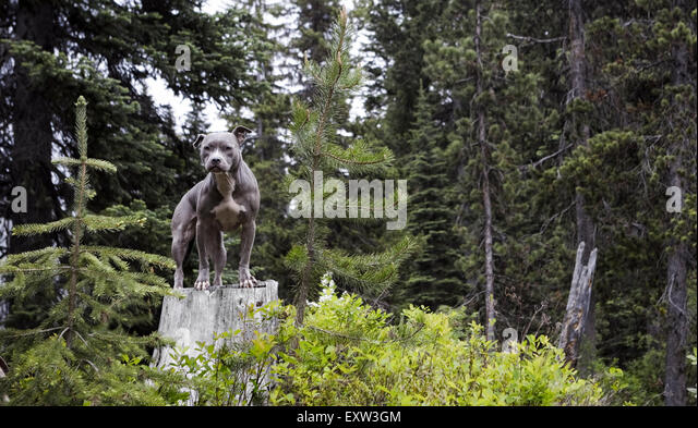 Gorgeous blue Pitbull standing on tree stump in forest - Stock Image