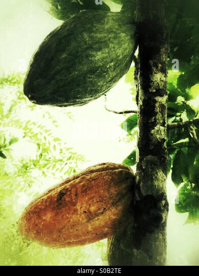 Cocoa Fruit on the Tree - Stock Image
