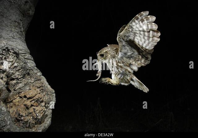 Owl (Athene noctua) - Stock-Bilder