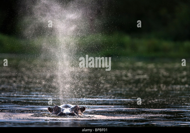 Hippo, Hippopotamus amphibius, coming up for air, Kruger National park, Mpumalanga, South Africa - Stock-Bilder