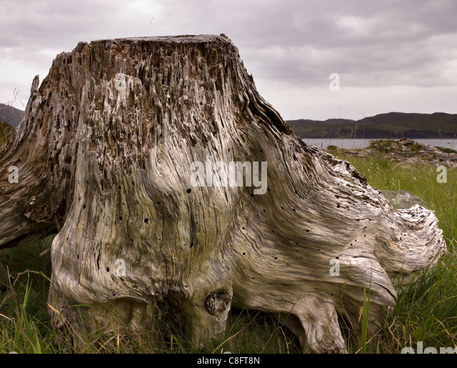 Eroded, decayed dead driftwood tree stump on the shores of Loch Slapin, Isle of Skye, Scotland, UK - Stock Image