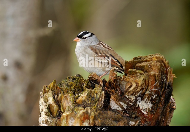 Song Sparrows Stock Photos & Song Sparrows Stock Images ...