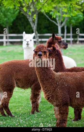 Four alpacas (three brown, one white) standing in a paddock. - Stock Image