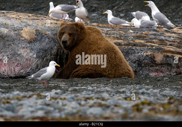 Coastal brown bear feeding on the carcass of a Humpback whale that washed up onto the beach in Katmai National Park - Stock Image