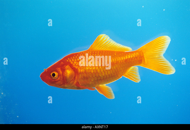 Goldfish (Carassius auratus) seen side-on - Stock Image