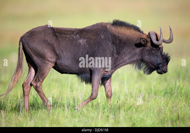 Black wildebeest is also knows as a white-tailed gnu.They are endemic to the southern part of Africa. - Stock Image