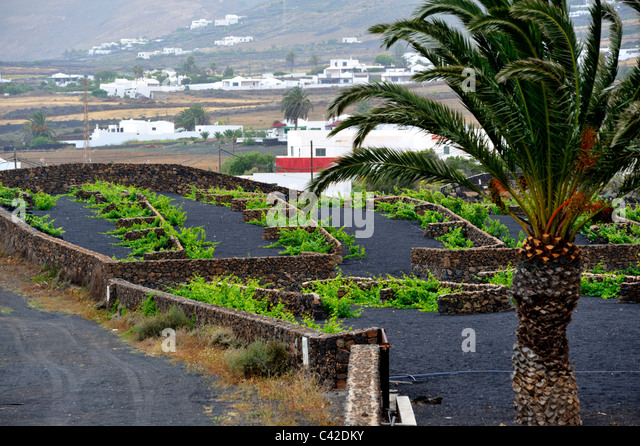 Growing vineyards in the dry volcanic climate of Lanzarote with stone wall to protect plants. Outside town of Uga - Stock Image