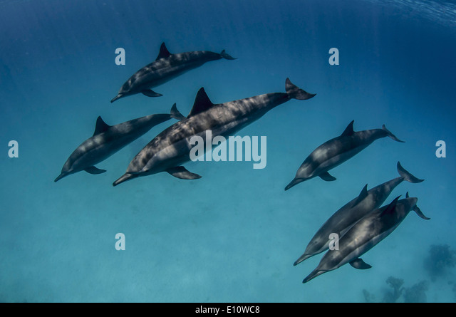 A school of common dolphins, Egypt (Delphinus delphis) - Stock-Bilder